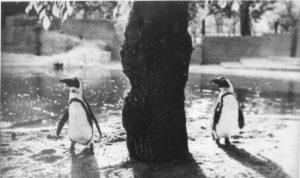 Pingvini v staria zoopark 1933