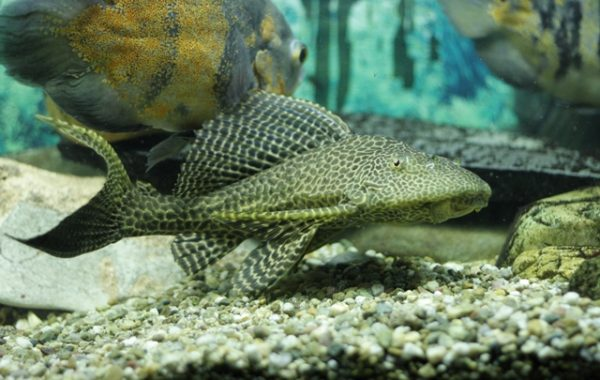 Sailfin Catfish