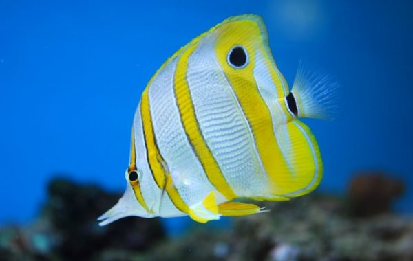 Copperb and butterfly fish