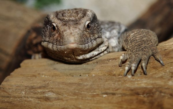 Savannah monitor