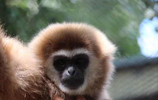 Lar (common) gibbon