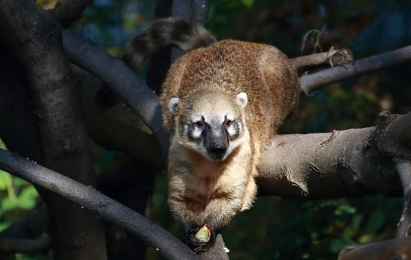 Coati