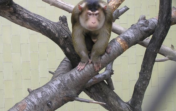 Pig – tailed macaque