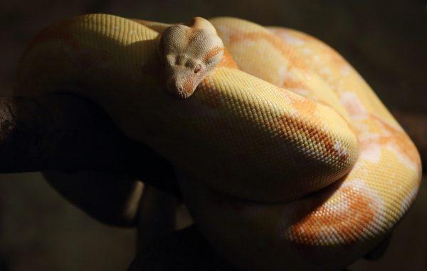 Albino Burmese Pythons